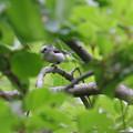 写真: シマエナガ 新緑の中
