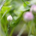 写真: ネギボウズ 雨ん中