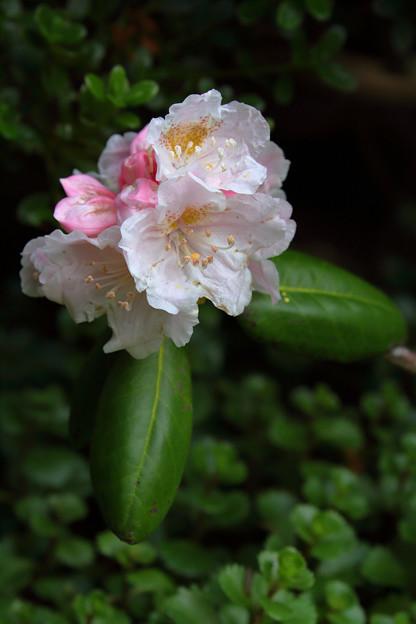 シャクナゲ 咲き