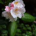 写真: シャクナゲ 咲き
