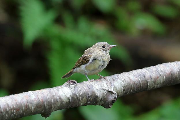 キビタキ幼鳥かな
