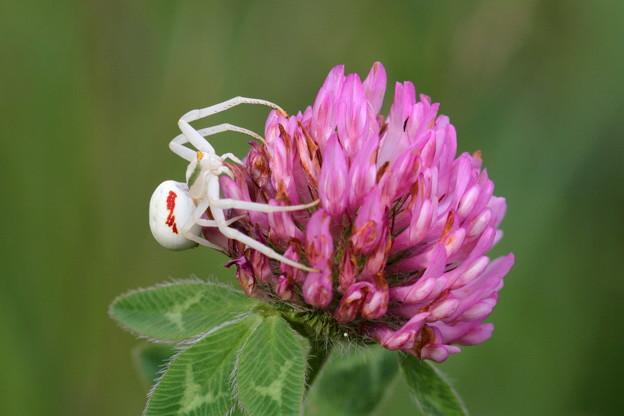 白いクモ ヒメハナグモ (2)