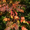 写真: 色ずく葉