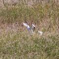 写真: タンチョウを見た (1)