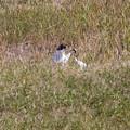 写真: タンチョウを見た (2)
