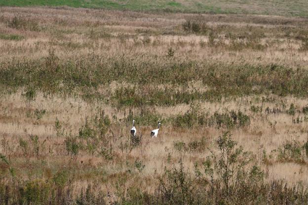 Photos: タンチョウを見た (4)