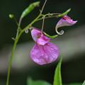 ツリフネソウ 咲く