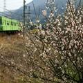 Photos: 梅にウグイス103系