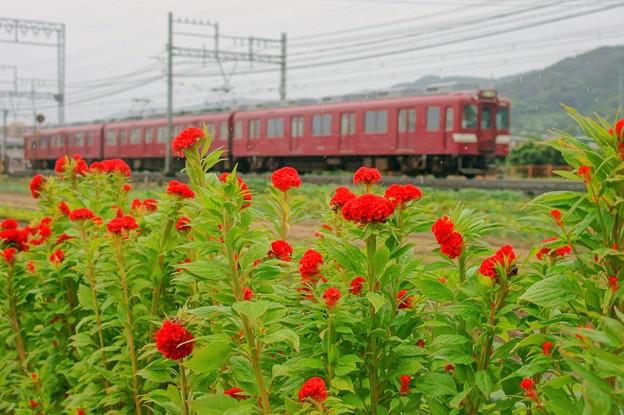 鶏頭の花と鮮魚列車