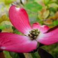 写真: 花水木(2)