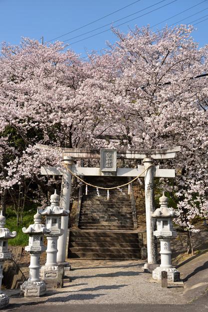 屋島神社の桜