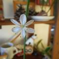 おりづるランの花