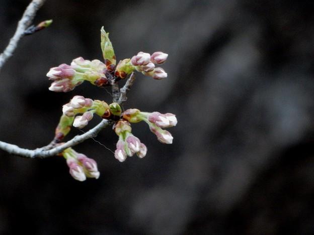写真: 石割桜♪