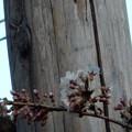 写真: 今日の石割桜(13日)