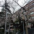 写真: 今日の石割桜(4月17日)