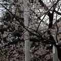 写真: 今日の石割桜(4月18日)