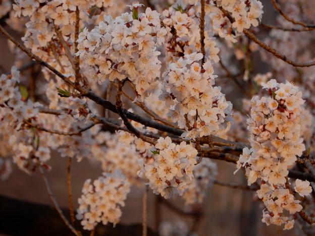 今日の石割桜(4月19日)