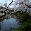 蓮池のほとりの桜