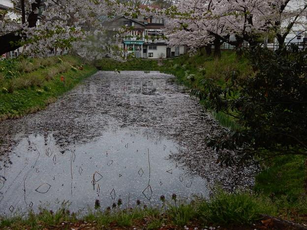 桜山の蓮池の桜