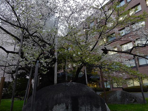 今日の石割桜