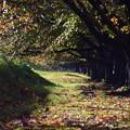 Photos: 秋の桜並木