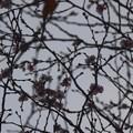 冬さくら♪