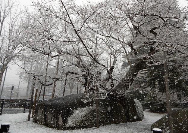 雪の石割桜