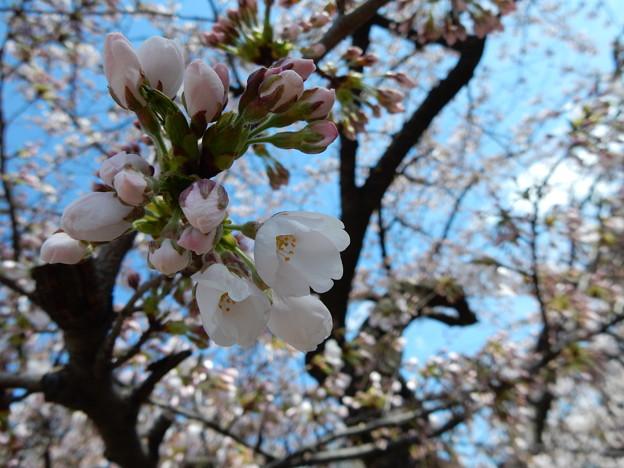 亀が池の桜