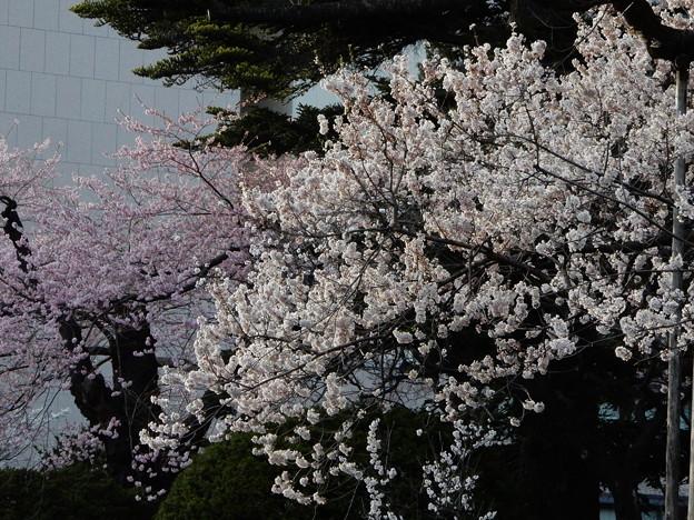 石割桜 4/19