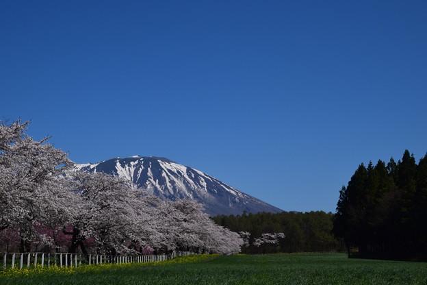 県道の桜と岩手山