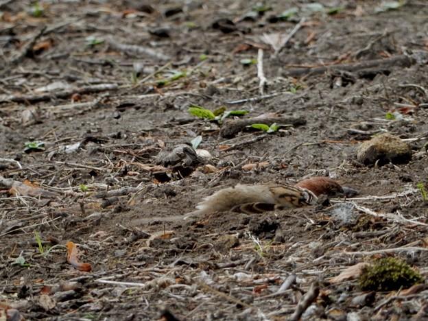 スズメの砂浴び2