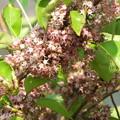 Photos: 木の花 (クロガネモチの雄花かも)