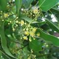 Photos: 木の花 (ヤブニッケイでした)