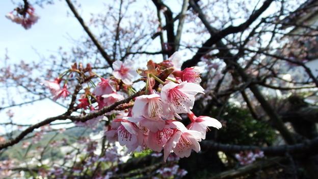 元日桜 5