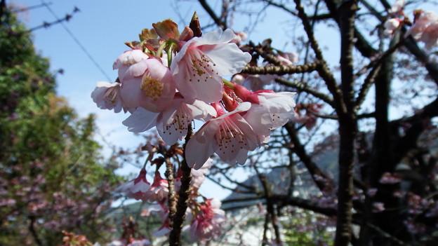 元日桜 6