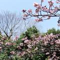 元日桜 7