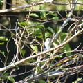写真: 野鳥 1(コサメビタキのようです)