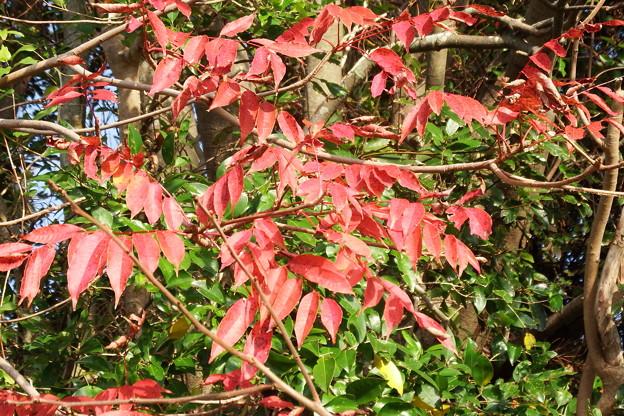 ハゼノキの紅葉