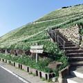 Photos: 県立野母半島水仙公園