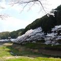 Photos: 庭木ダム桜 1
