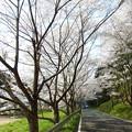 Photos: 庭木ダム桜 4