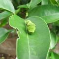 Photos: アゲハの幼虫 2