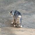 長崎猫 尾曲がり猫