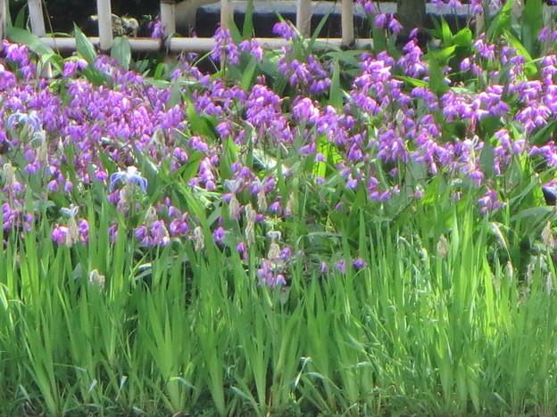 紫蘭と杜若