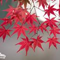 2018 秋月の紅葉9