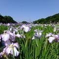 Photos: 菖蒲まつりの北山公園に来...