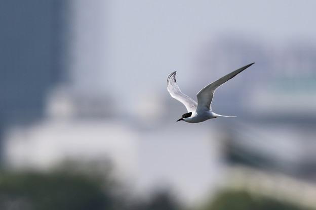 アジサシ飛翔2
