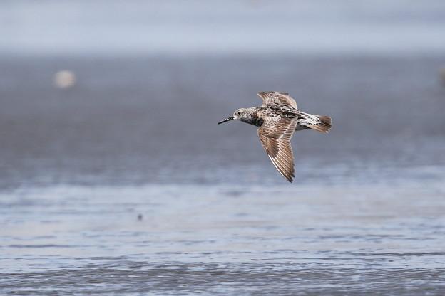 写真: オバシギ飛翔