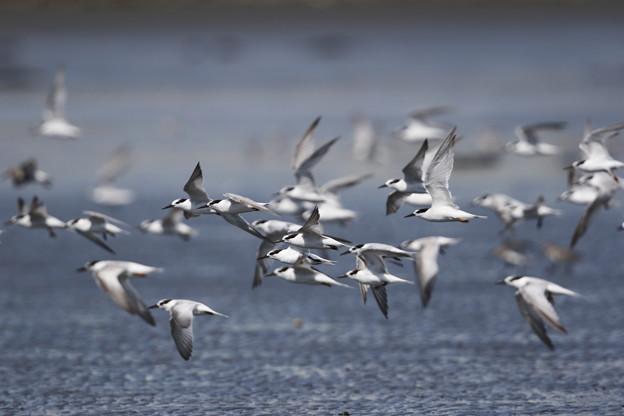 写真: コアジサシ群飛翔