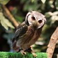 アフリカオオコノハズク